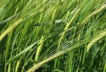 wheat-2427289_1280